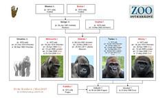 Gorilla: Tadao