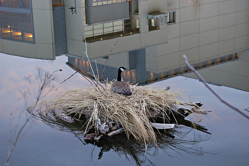 Downtown Goose by dsills