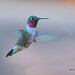 Broad-tailed Hummingbird - Photo (c) Chuck Roberts, some rights reserved (CC BY-NC-ND)