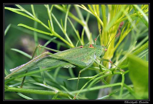 Phanéroptère (Phaneroptera falcata)