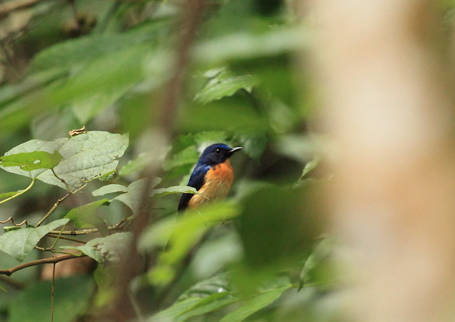 Large billed Blue Flycatcher, Large-billed Blue Flycatcher, Large-billed Blue-Flycatcher, Large-billed Niltava, Long-billed Blue Flycatcher, Long-billed Blue-Flycatcher, Long-billed Niltava, Sunda Blue Flycatcher, Sunda Blue-Flycatcher, Cyornis caerulata, Cyornis caerulatus, Niltava caerulata, Niltava caerulatus, Cyornis à front azuré, Gobemouche à grand bec, Niltava Picuda, Papamoscas Picoancho, Sikatan Sunda, Niltava beccogrosso, Pigliamosche blu beccogrosso, kuroagoaohitaki, kuroagohimeaohitaki, Sambar Biru Sunda, Большеклювая голубая мухоловка-циорнис, 大嘴仙鹟, クロアゴアオヒタキ, クロアゴヒメアオヒタキ,