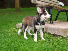 dog breed, animal, west siberian laika, dog, siberian husky, pet, shikoku, russo-european laika, east siberian laika, greenland dog, northern inuit dog, wolfdog, saarloos wolfdog, native american indian dog, norwegian lundehund, jã¤mthund, sled dog, carnivoran,
