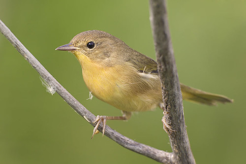Common Yellowthroat with Spider Web