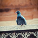Pigeon atop the barsati