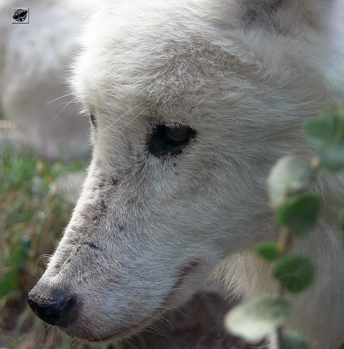 Tundrafarkas - Arctic tundra wolf by The Crow2