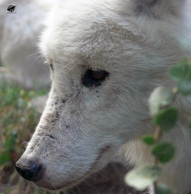Tundrafarkas - Arctic tundra wolf