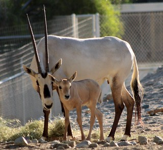 MAMA ORYX AND HER NEW BABY!