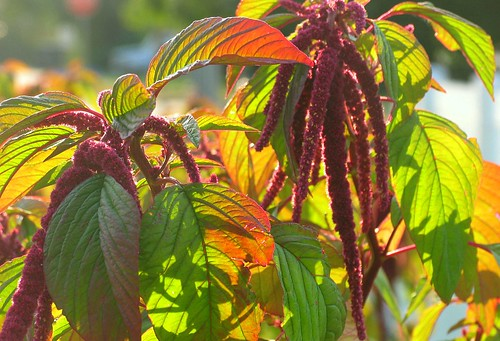 amaranth, the inca grain