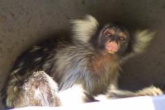 primate(0.0), capuchin monkey(0.0), macaque(0.0), animal(1.0), mammal(1.0), fauna(1.0), marmoset(1.0), old world monkey(1.0), new world monkey(1.0),