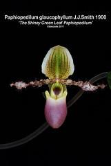 Paphiopedilum glaucophyllum