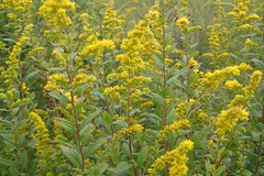 evergreen, shrub, flower, yellow, plant, mustard, subshrub, herb, flora,