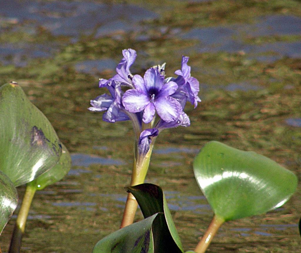 flor de camalote 2