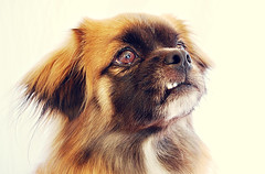dog breed, nose, animal, dog, pet, mammal, tibetan spaniel, close-up, pekingese, eye,