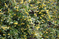 shrub, flower, tree, plant, subshrub, produce, hypericum,