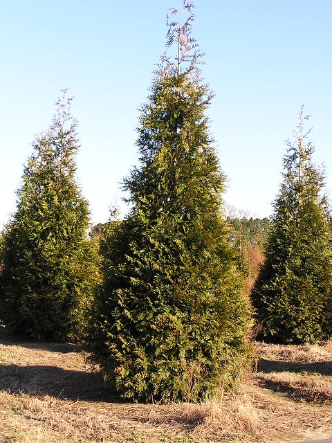 Thuja 39 Green Giant 39 Flickr Photo Sharing