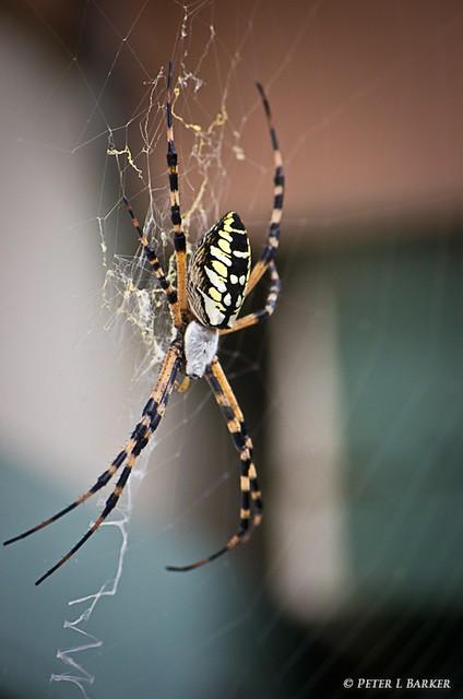 florida garden spider this large garden spider 1 flickr