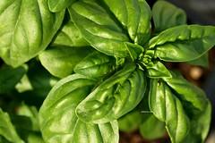 vegetable(0.0), flower(0.0), malabar spinach(0.0), bird's eye chili(0.0), produce(0.0), food(0.0), leaf(1.0), plant(1.0), herb(1.0), basil(1.0),