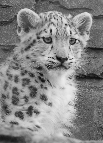 Baby White Snow Leopard Baby Snow Leopard at Marwell