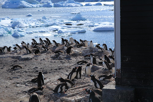Gentoo Penguins at Waterboat Point, Antarctica by Liam Q