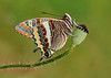 Pete Withers - The Two-tailed Pasha or Foxy Emperor (Charaxes jasius)