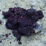Bear scat full of berry seeds