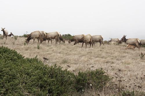 Tule Elk Reserve, Point Reyes National Seashore