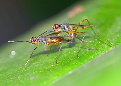 Mating Stilt-legged Flies