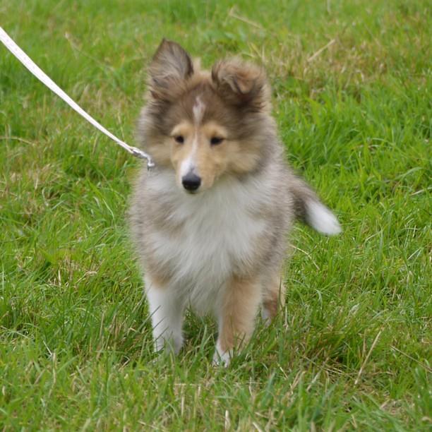 Miniature #Lassie #dog...