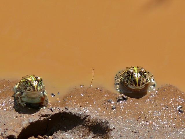 Juvenile African Bullfrogs (Pyxicephalus edulis)