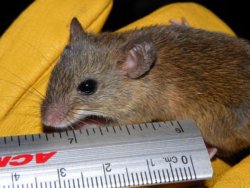 raton