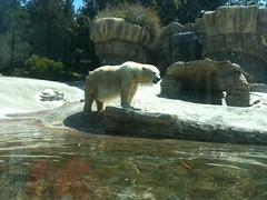 recreation(0.0), outdoor recreation(0.0), grizzly bear(0.0), polar bear(1.0), mammal(1.0), fauna(1.0), bear(1.0), wildlife(1.0),