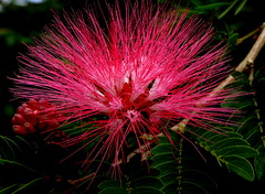 Albizia, Living Burst Of Color (Explored)