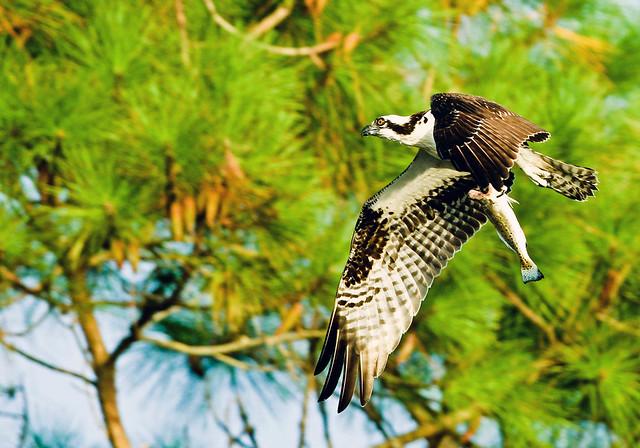 Águila pescadora con su presa. Florida.
