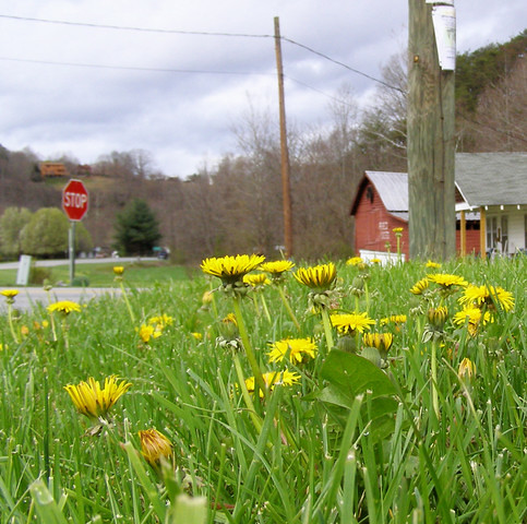 flowers grass yellow nc pov stop stopsign ontheground distance 2009 redbarn dandelions barnardsville bugseye melystu