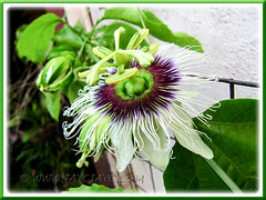 Our 1st flower of Passiflora edulis (Purple Passionfruit/granadilla) in mid-Aug 2011