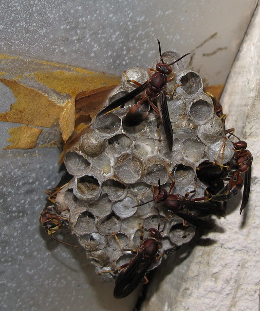 paper wasp identification