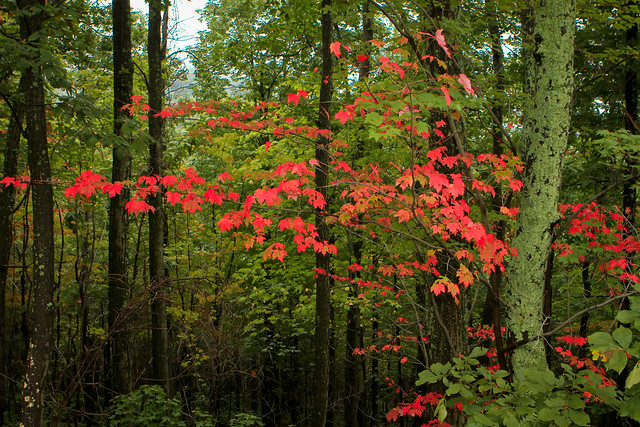 Red Maple - Shenandoah National Park