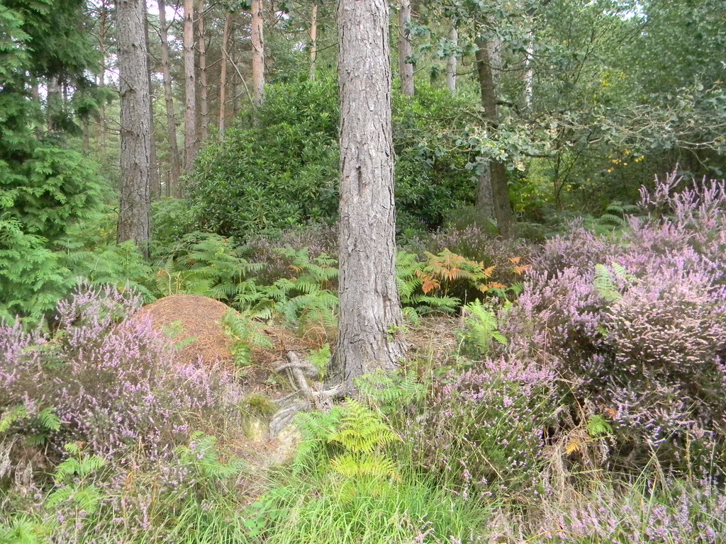 Heather, tree and anthill Forest Row Circular