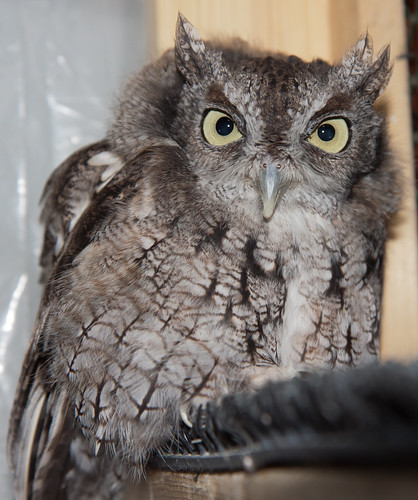 Archimedes, my own education Screech-Owl