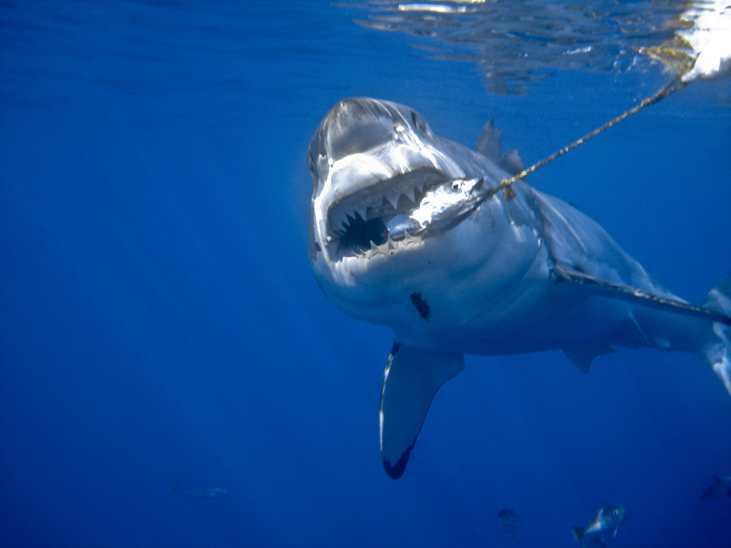 Great white shark bite