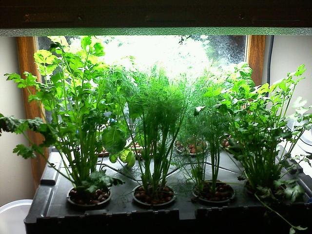 Dill/cilantro/basil
