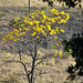 IPÊ-AMARELO-  The yellow-ipe tree (Tabebuia chrysotricha) -