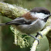 Chestnut-backed Chickadee - Photo (c) Maggie.Smith, some rights reserved (CC BY-NC)