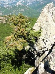 Sommet du Castellacciu : environnement végétal