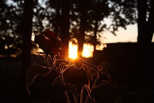 yard sunrise sunflowers