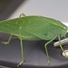 Lesser Anglewing Katydid - Photo (c) Jim Webber, some rights reserved (CC BY-NC-SA)