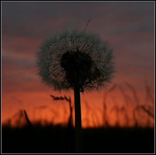 sunset summer flower nature geotagged countryside dandelion ok pdpnw