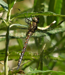 Migrant Female Dragonfly