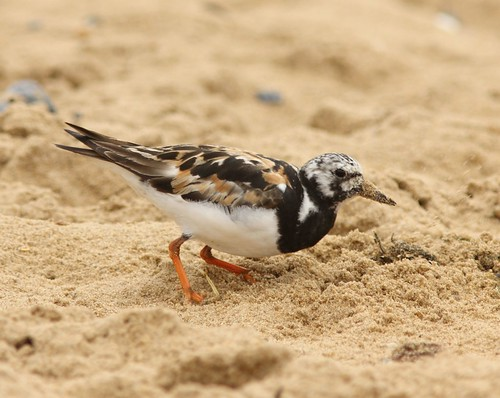 Turnstone-IMG_2248 copy