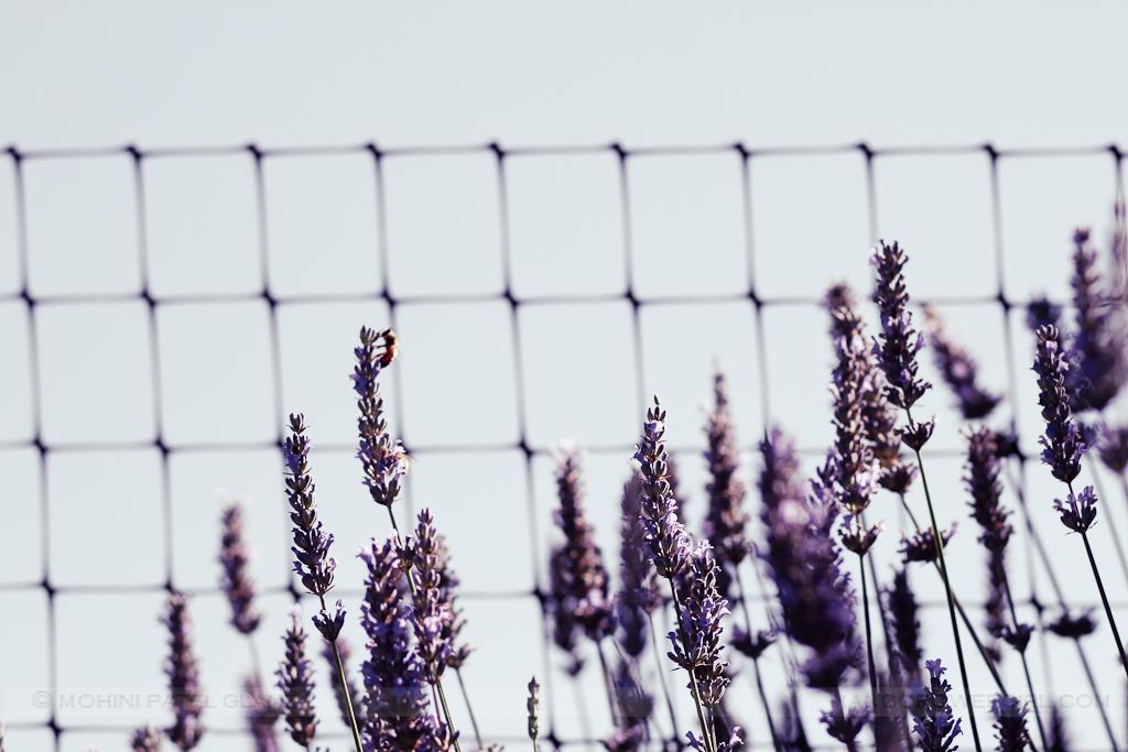 lavender hill farm 10